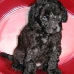 Silver Australian Labradoodle Puppy