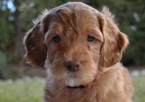 caramel australian labradoodle puppy