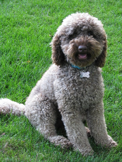 Australian Labradoodle Coat Types | Labradoodles of the North