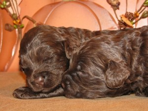 chocolate australian labradoodle puppies
