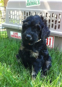shipping australian labradoodle puppy