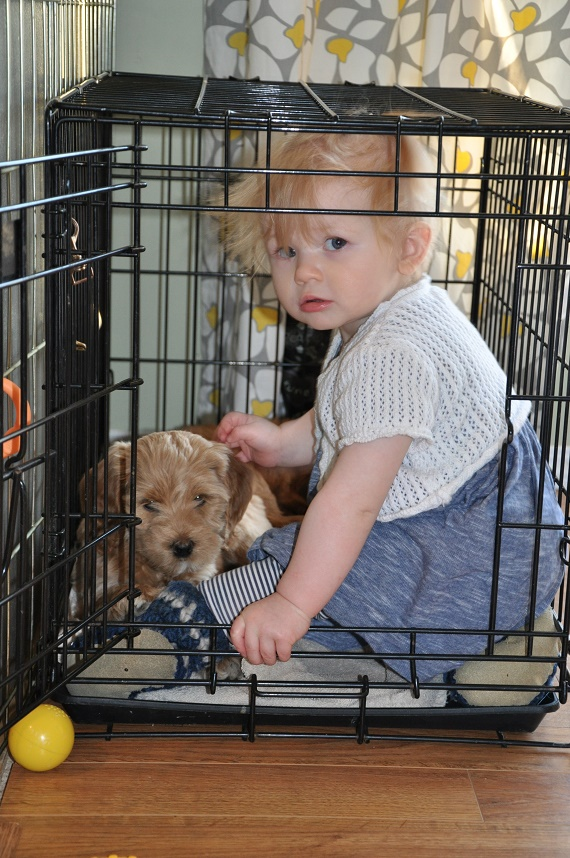 australian labradoodle puppies and babies