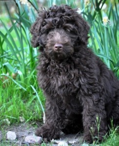 Chocolate Australian Labradoodle Puppy Fleece Coat