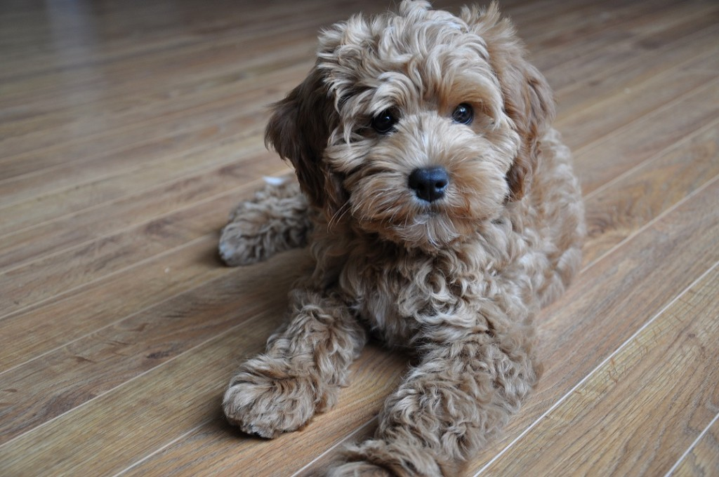 apricot australian labradoodles of the north