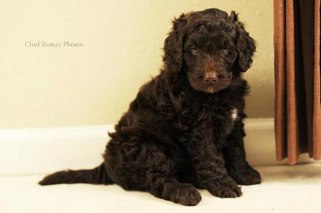 Australian Labradoodle Parent Breeds Labradoodles Of The North