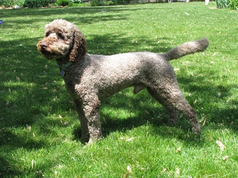 Stacked Australian Labradoodle Breed Standard