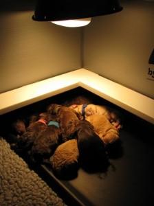 newborn australian labradoodle puppies