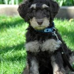phantom australian labradoodle at Labradoodles of the North
