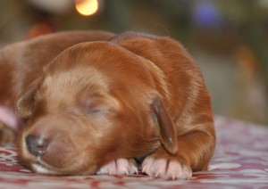 red australian labradoodle puppies vancouver