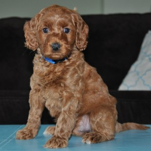 vancouver red labradoodle