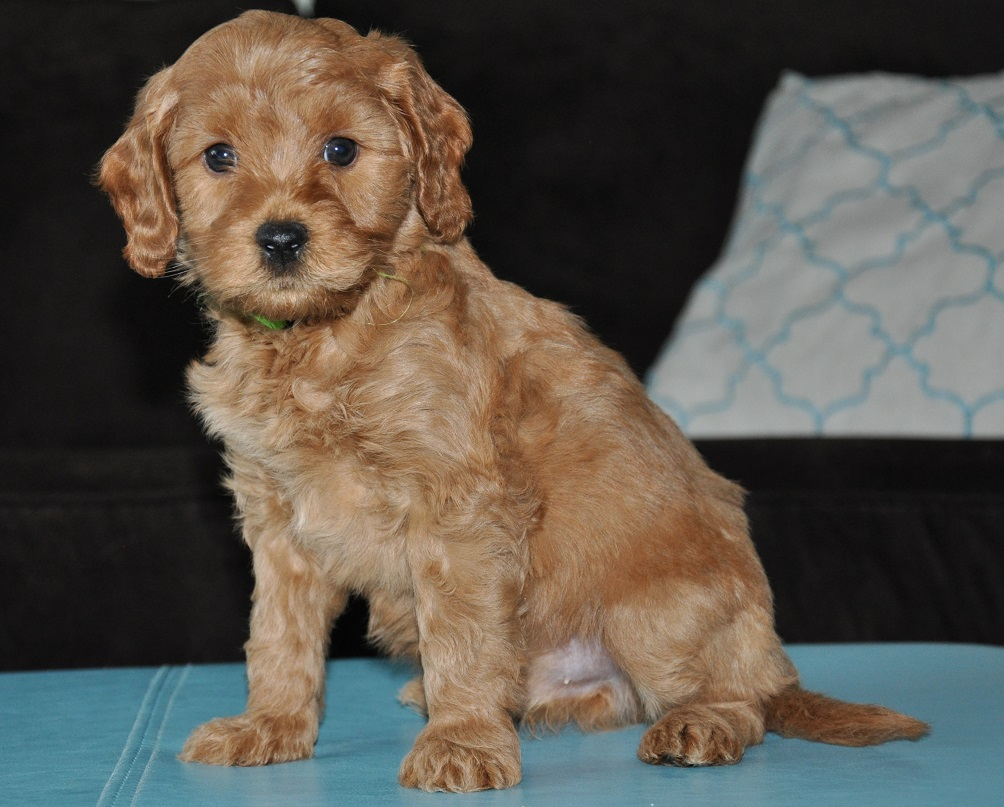 Lexi And Odins Puppies Labradoodles Of The North