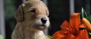 calgary labradoodle puppies