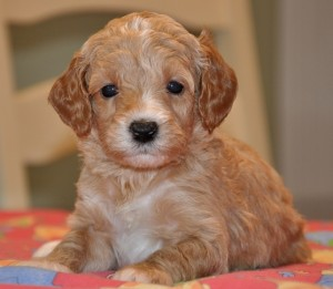 red and white australian labradoodles