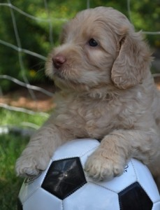 soccer australian labradoodle puppy