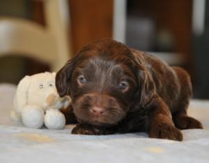 toronto labradoodle puppies