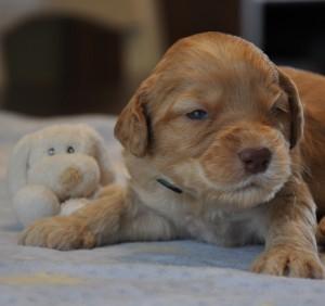 vancouver australian labradoodle puppies