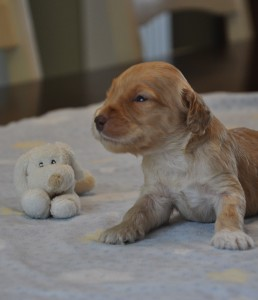 australian labradoodle puppies for sale vancovuer