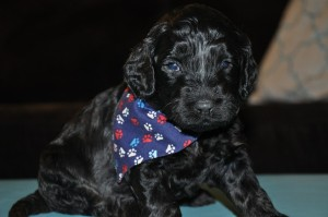 black australian labradoodle puppies for sale