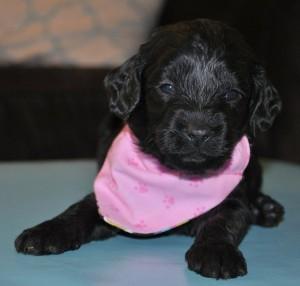 black fleece female australian labradoodle puppy Canada