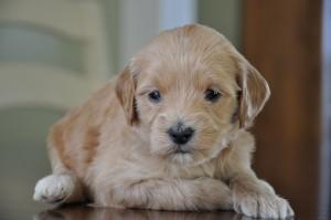 labradoodle puppies canada