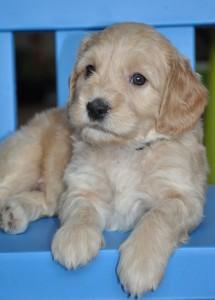 labradoodle puppies for sale Alberta
