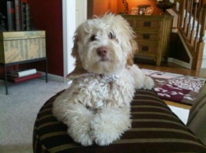 cream australian labradoodle of the north
