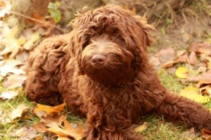 Chocolate Fleece Australian Labradoodle Yukon