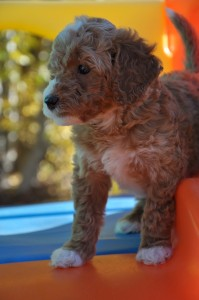 red labradoodles vancouver