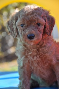 wool allergy friend labradoodle vancouver