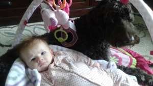 Labradoodles, standard, therapy, service dog