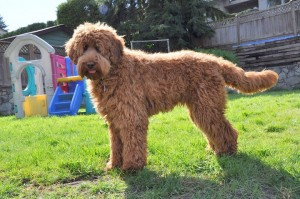 Australian Labradoodle of the North Canada