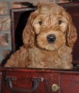 Gypsy labradoodles of the north