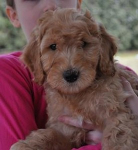 apricot labradoodle puppy fleece