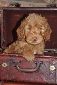 caramel australian labradoodle puppy canada