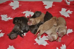 australian labradoodle puppies alaska alberta bc yukon