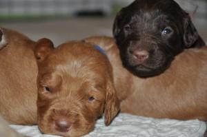 edmonton labradoodle puppies