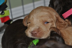 yellowknife labradoodle puppies