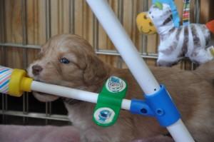 vancouver labradoodle puppies