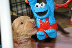 ottawa labradoodle puppies for sale