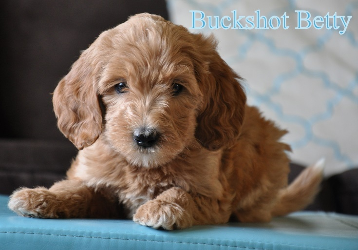 Salsa And Odin Puppies Available Labradoodles Of The North