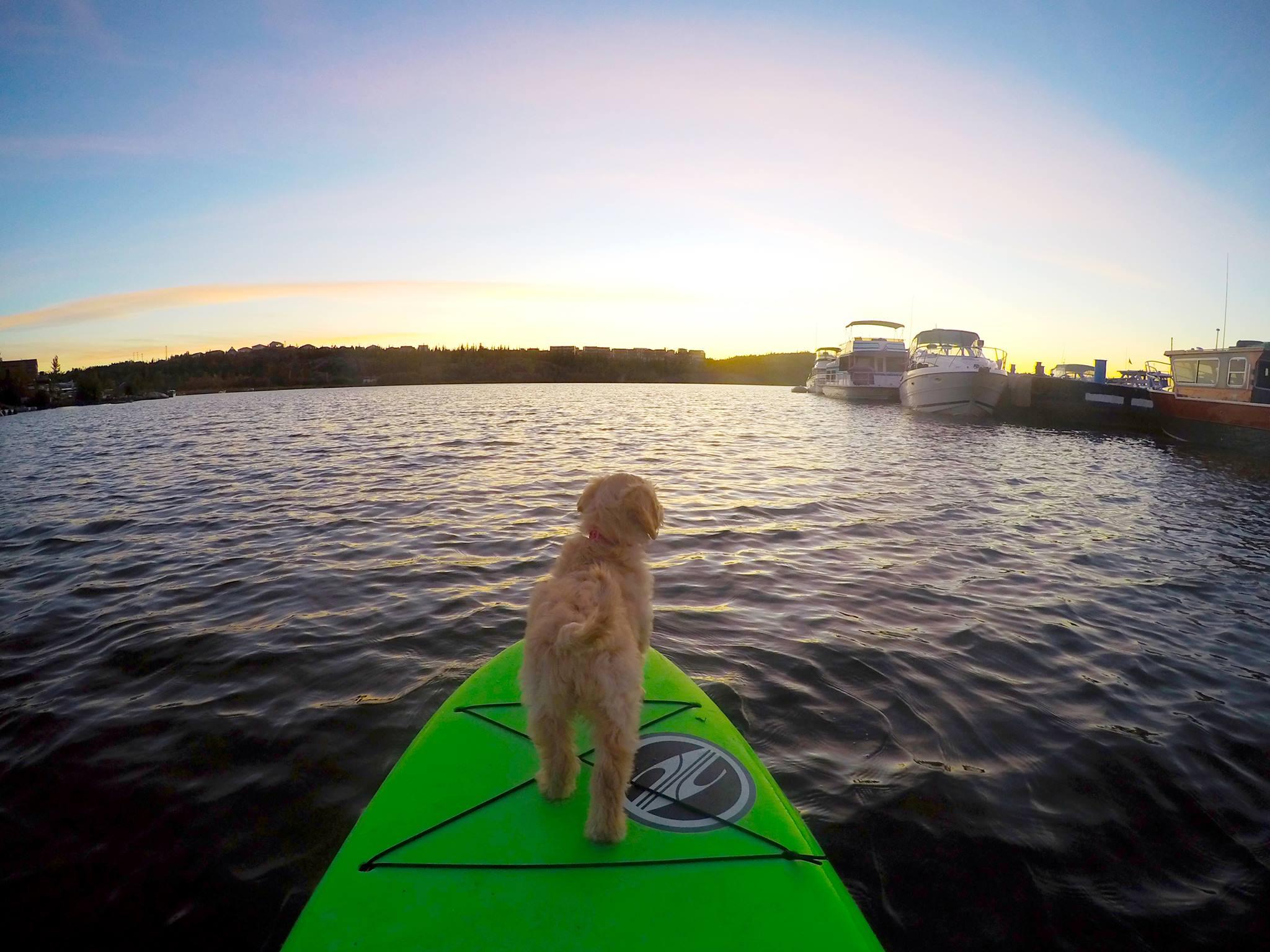 labradoodle paddleboard