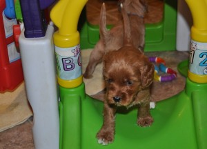 labradoodle puppies available canada