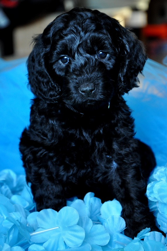 Piper and Odin's Litter 2016 | Labradoodles of the North