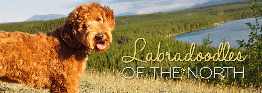Labradoodles of the North